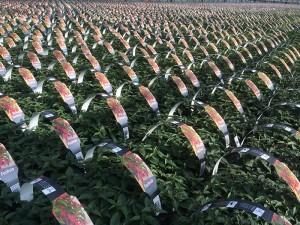 Fuchsia produktion hos Anderuplund